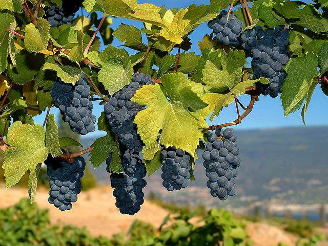 merlot grapes  http://getoverdepression.org
