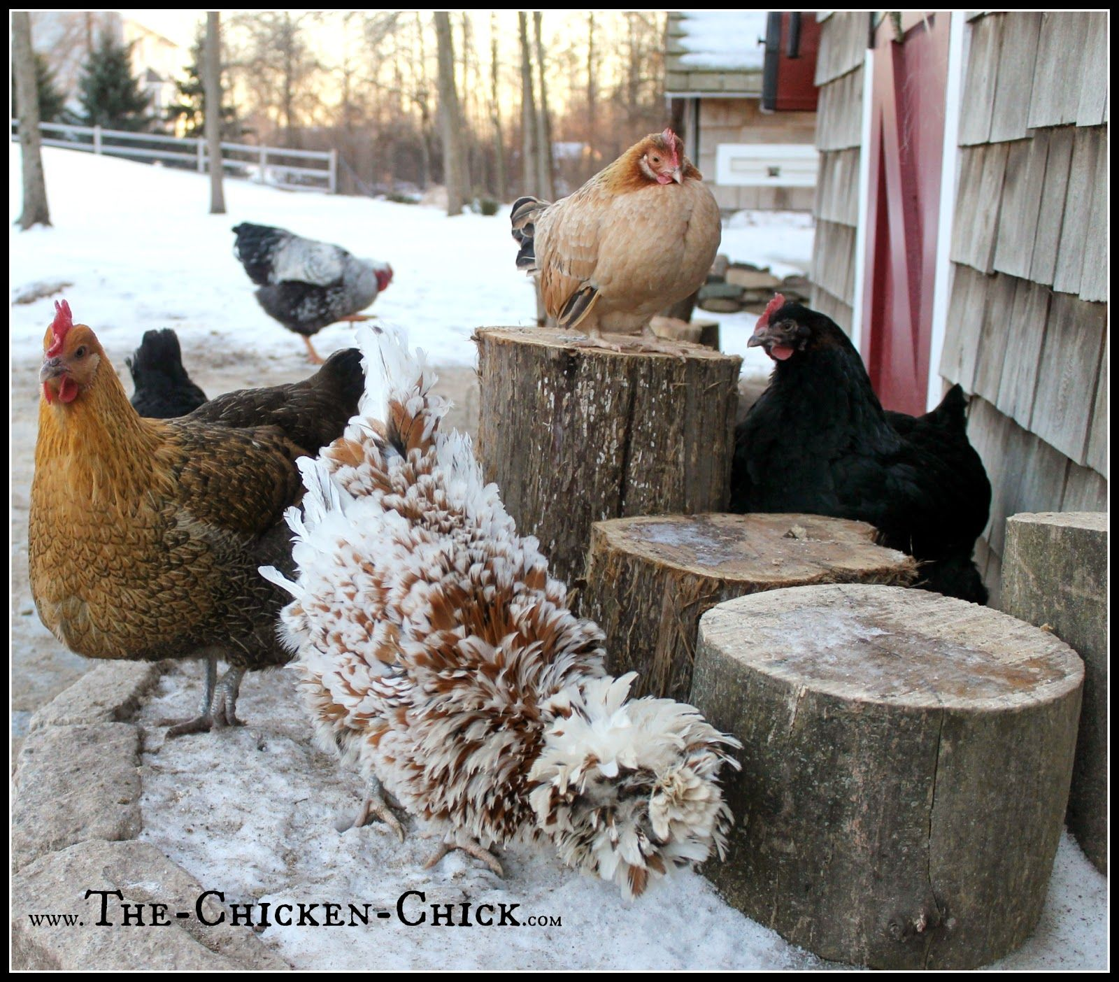 20+ Winter Boredom Busters For Backyard Chickens (With