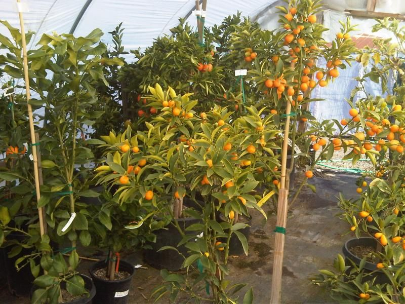 Citrus Fruit Tree Nursery Trees With