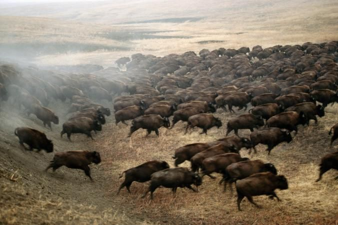 National Geographic Bison Photography