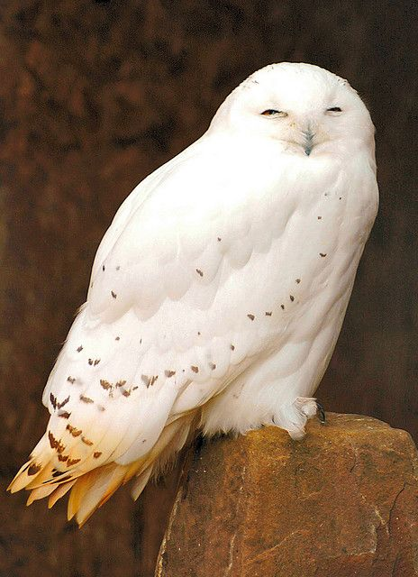Полярная или белая (Nyctea scandiaca) – типичный хищник Стоит отметить, что рядом