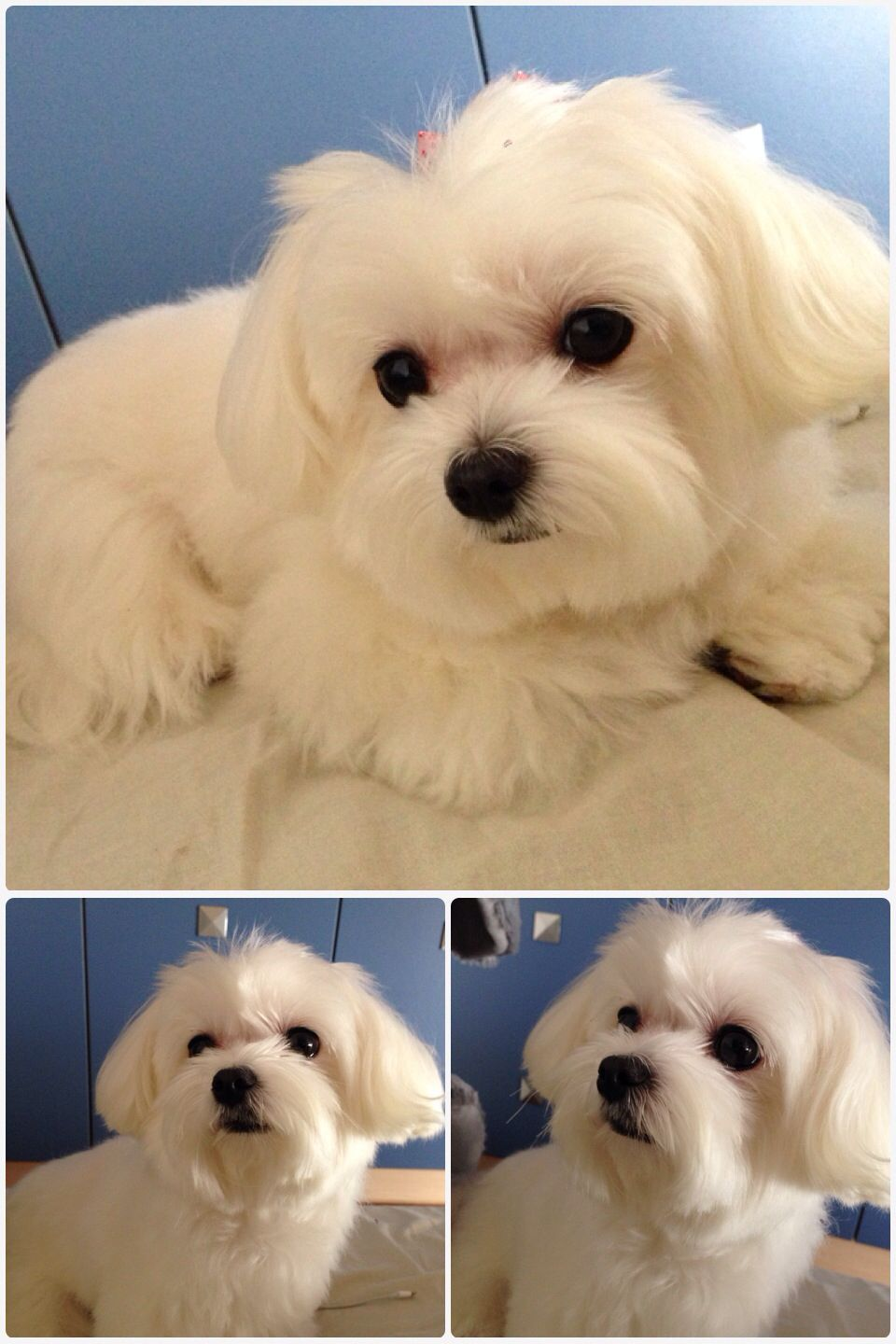 My Cute Girl Sunny Andy Comes From Taiwan Malteser