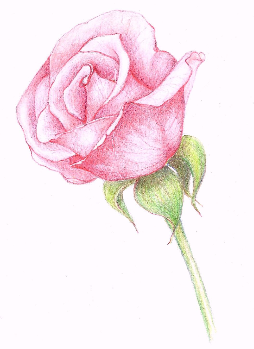 Rose Drawings In Pencil  Drawings: A Pink Rose
