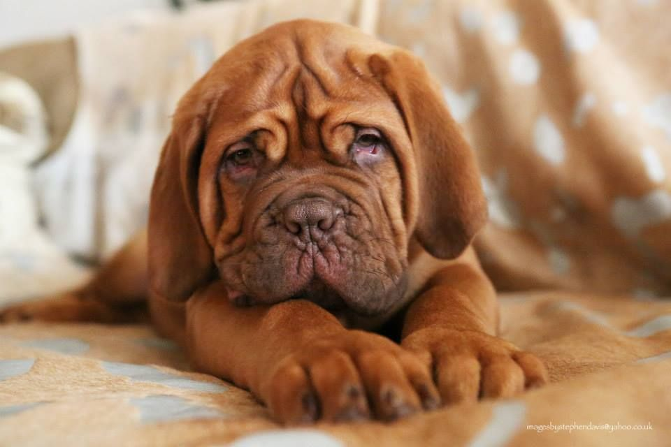 Stunning Dogue De Bordeaux Puppies For Sale Mastiff Puppies