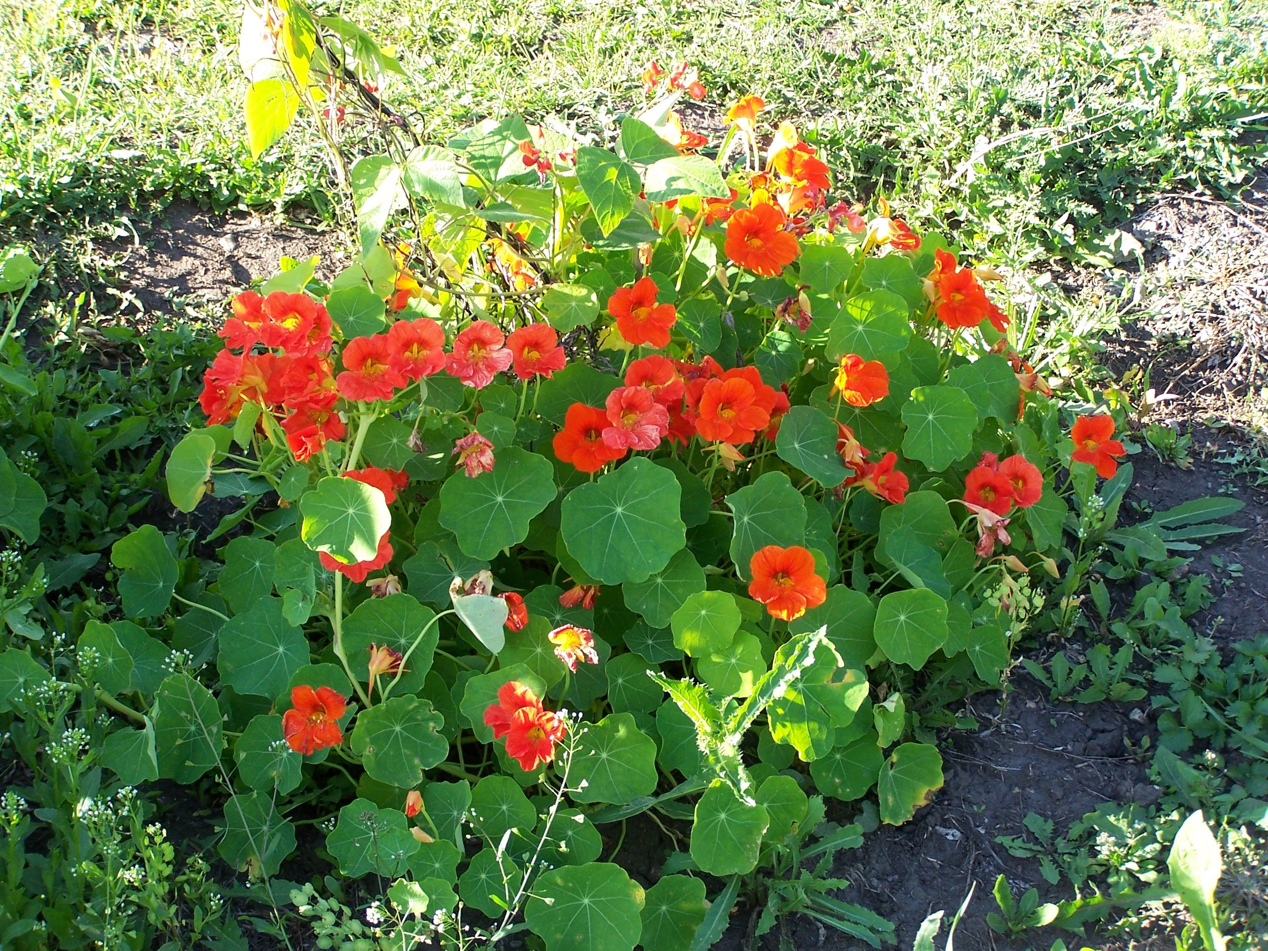 Nasturtiums Are A Great Annual For Attracting Hummingbirds The