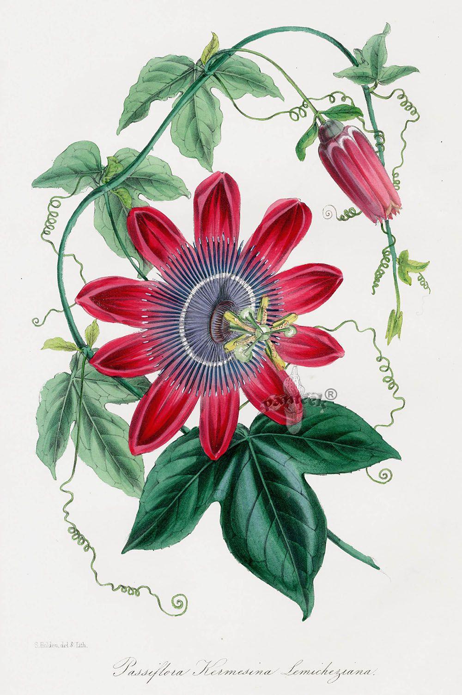 Passion Flower Pxt8 Botanical Flowers Vintage Botanical Prints Botanical Drawings