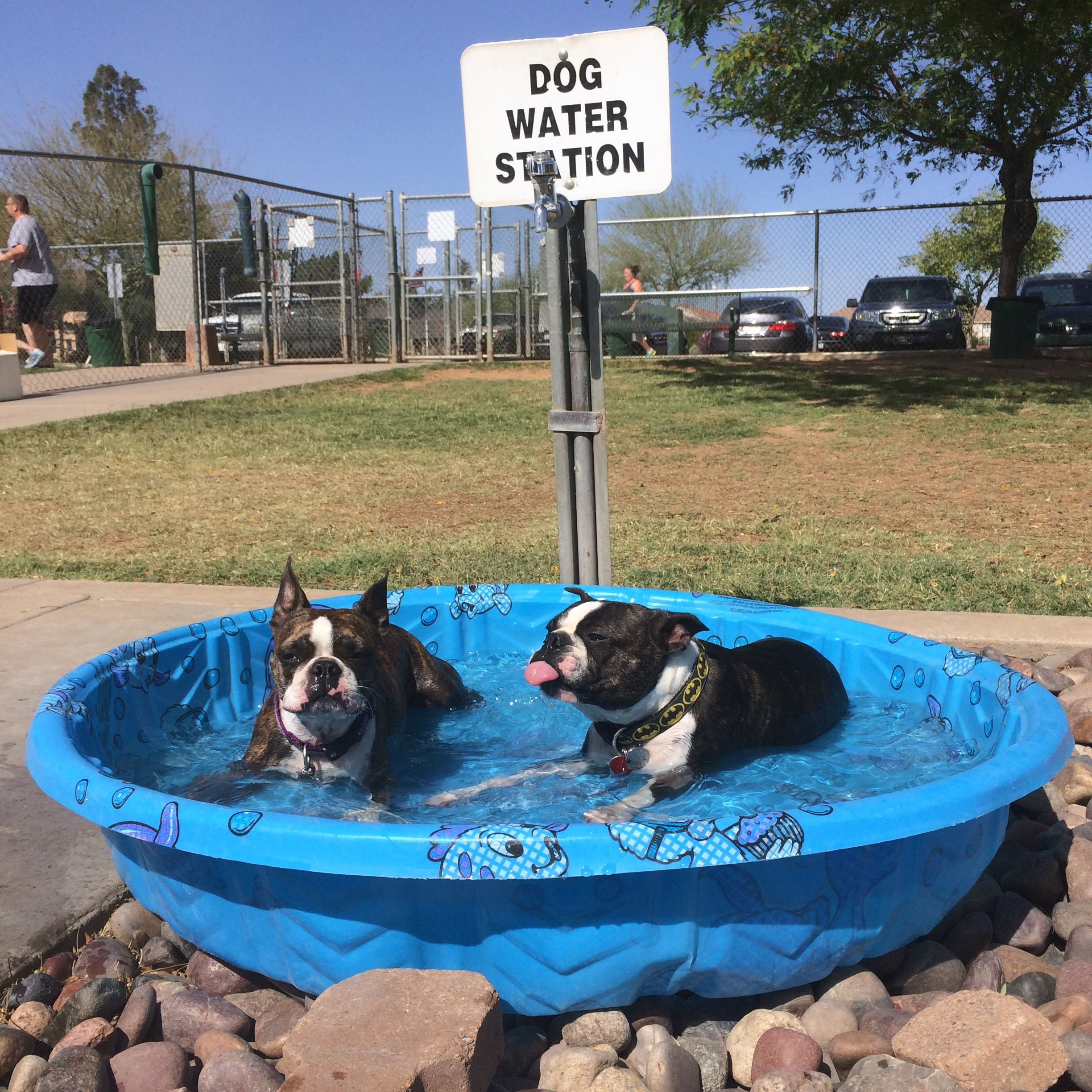 Don't forget to water your Boston Terrier! A true waterdog ....