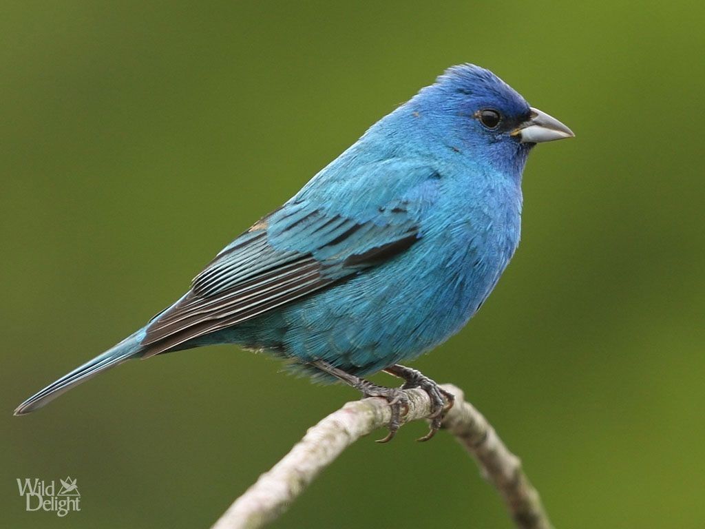 indigo bunting google search references for too dark to die