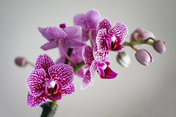 Orchid flower - description, blooming, habitat, uses, symbolism #orchid #flower