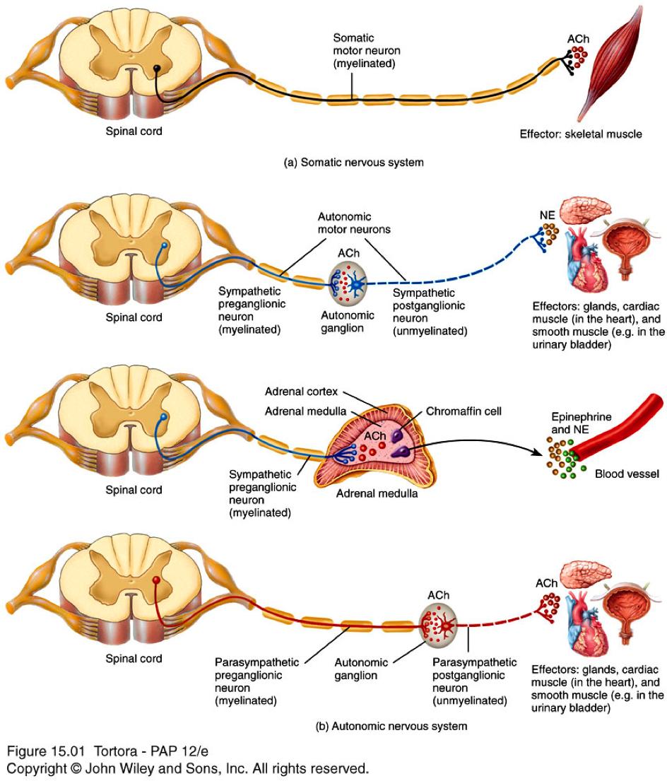 medium resolution of neuron anatomy anatomy physiology 246 thomas flashcards autonomic nervous