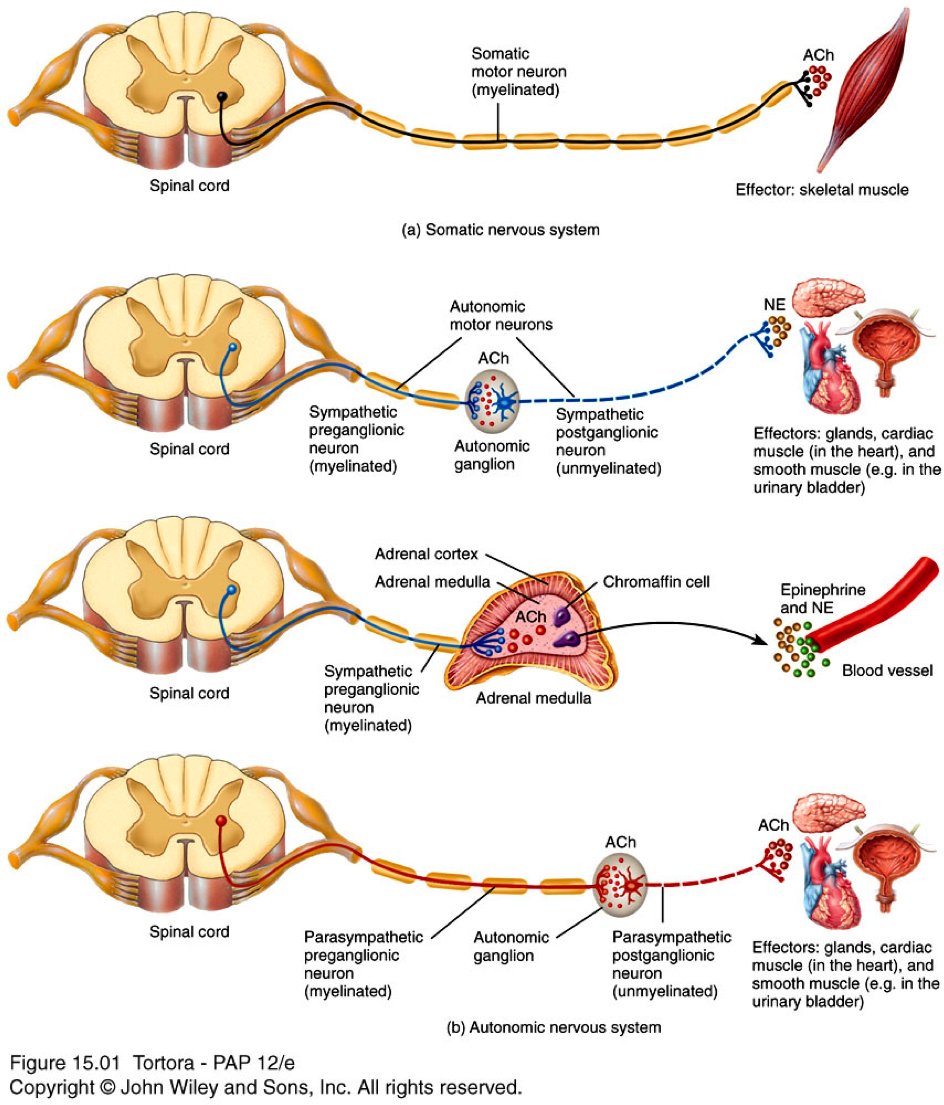 small resolution of neuron anatomy anatomy physiology 246 thomas flashcards autonomic nervous