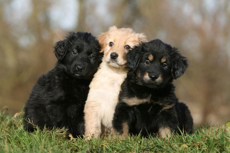Hovawart Puppies Animals Honden Puppy Dieren