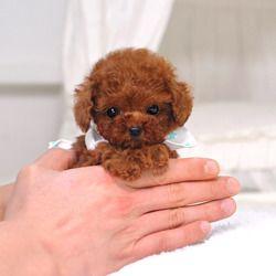 Poodle 8211 Blaire Teacup Teacup Poodle Puppies Toy Dog