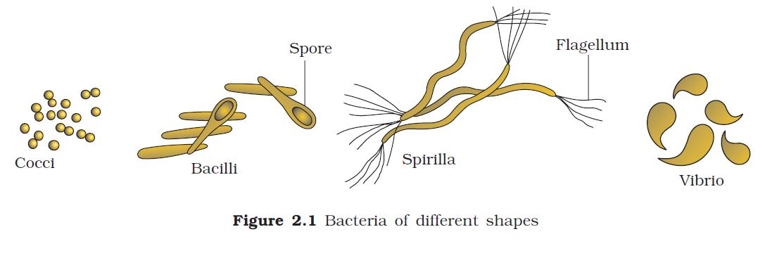 Different shapes of bacteria vibrio coccus spirilla bacillus different shapes of bacteria vibrio coccus spirilla bacillus ccuart Image collections