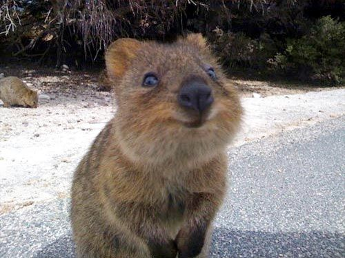 12 Fabulous Animals That Start With The Letter Q Smiling Animals Happy Animals Quokka