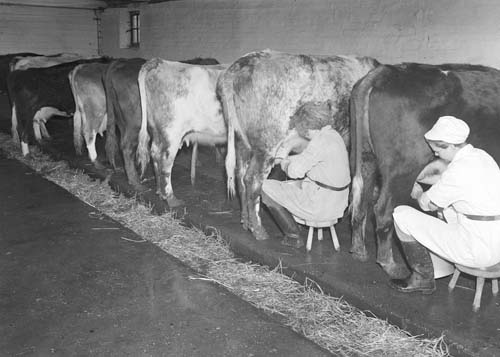 Milking Cows by Hand | University Of Reading