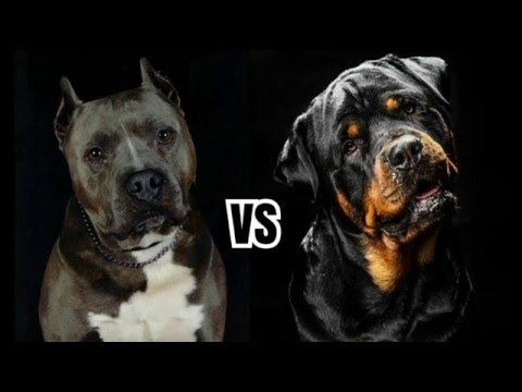 The Rottweilers Rottweiler Compared To Pitbull Video