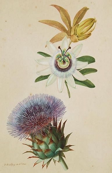 Johann Baptist Weiss Passionflower And Thistle 1845 Botanical Artwork Botanical Drawings Botanical Illustration
