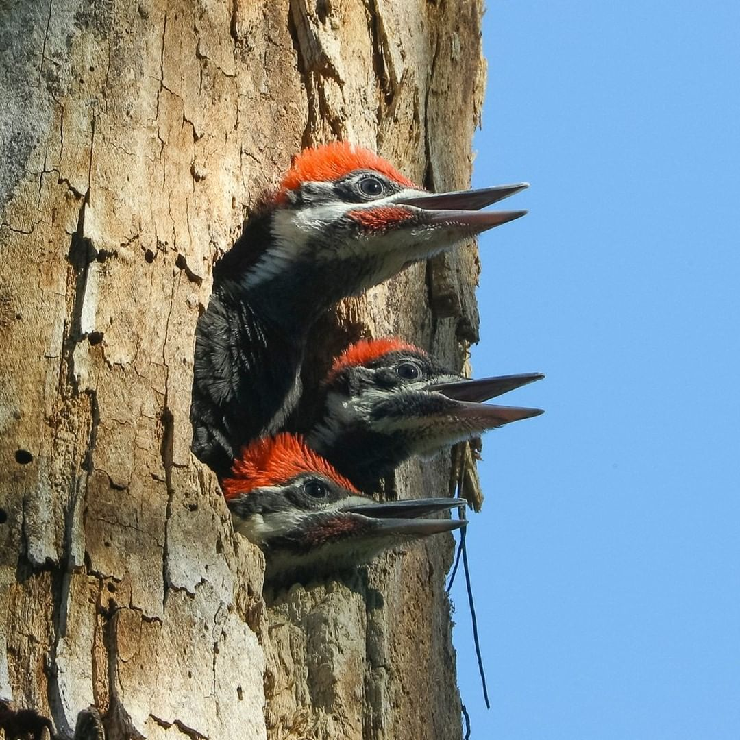 National Geographic On Instagram Photo By Timlaman Pileated Woodpecker Chicks Stick Their Heads Out Of A Nest Opening As T Bird Photography Bird Woodpecker