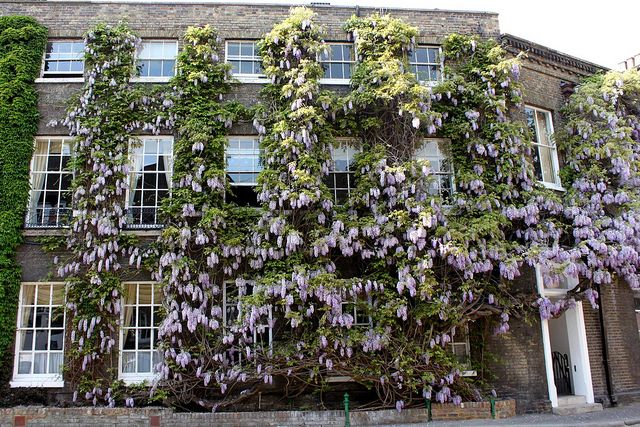 The Oldest Wisteria In England 1816 Chiswick Lane South