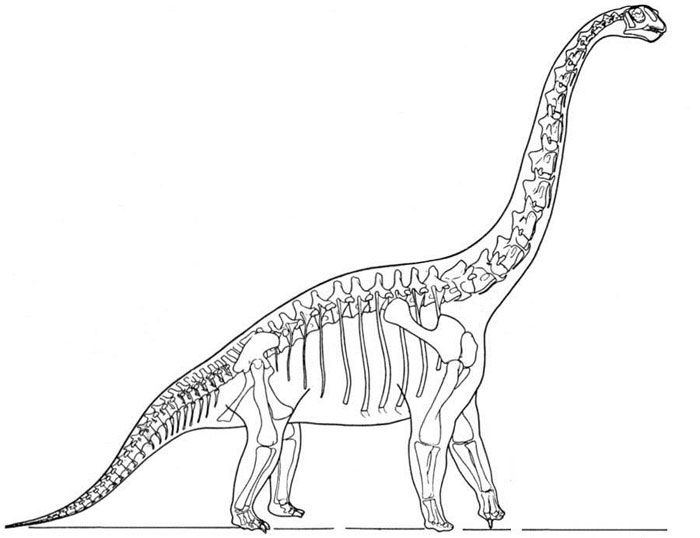 This picture shows a reconstruction of a Brachiosaurus skeleton
