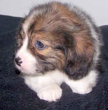 Dd 625 Tibalier Puppy Designer Dogs Tibetan Spaniel Dog