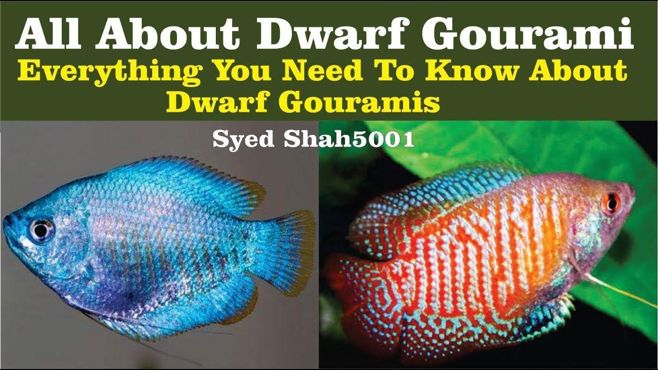 Dwarf gourami aquarium fish how to care dwarf gourami