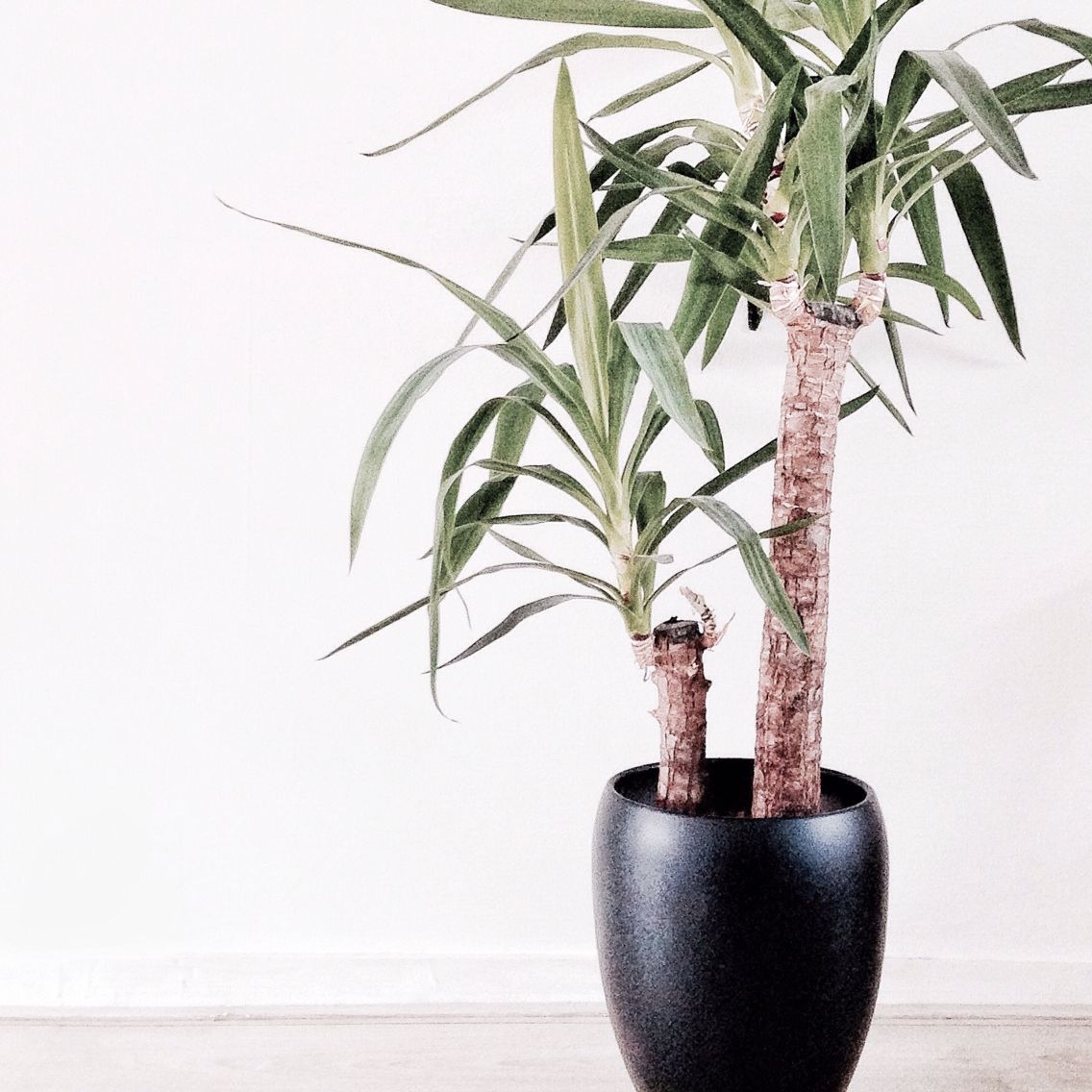 Yucca Plant Rianne Van Wees Decorate With Trees And