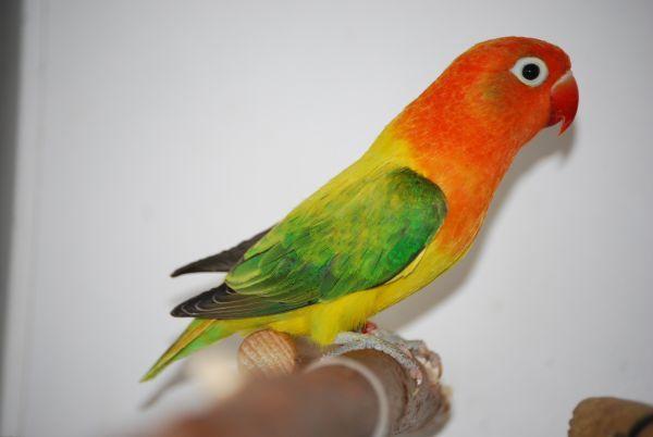 Agapornis Fischeri Opaline Euwing Groen Tropical Birds Bird Love Birds