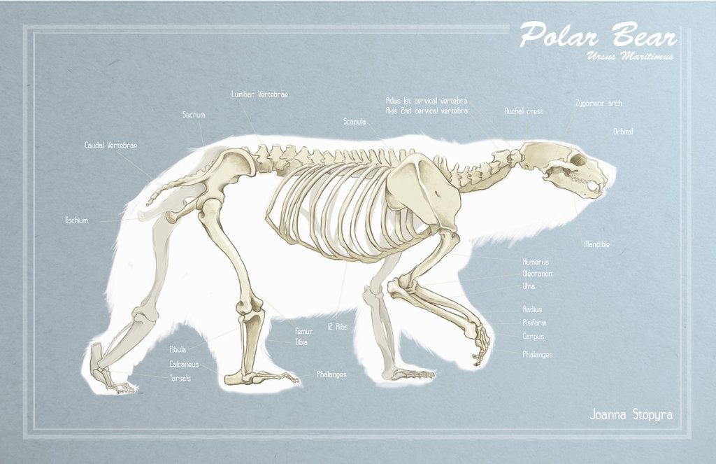 Polar Bear skeleton | Animal & creatures | Pinterest | Polar bear ...