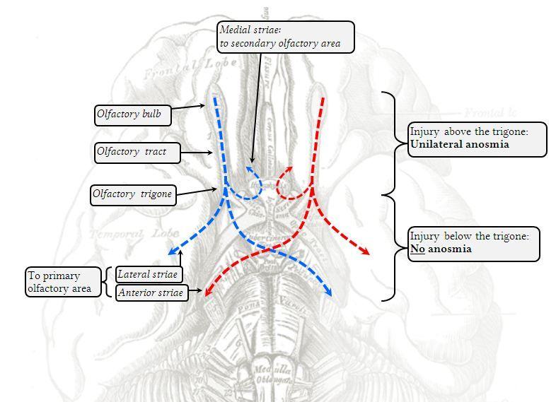 Olfactory Nerve Pathways Human Neuroanatomy Pinterest Cranial