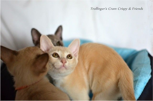 Burma Katze In Creme Burmese Cat Colour Cream Burmese Cat Cat Colors Kittens