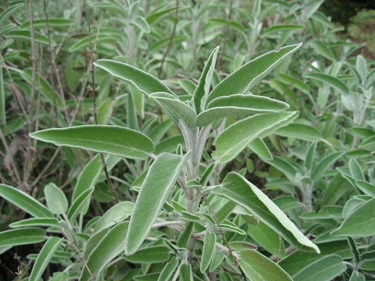Garden Sage – Health Benefits and Side Effects | Medicinal