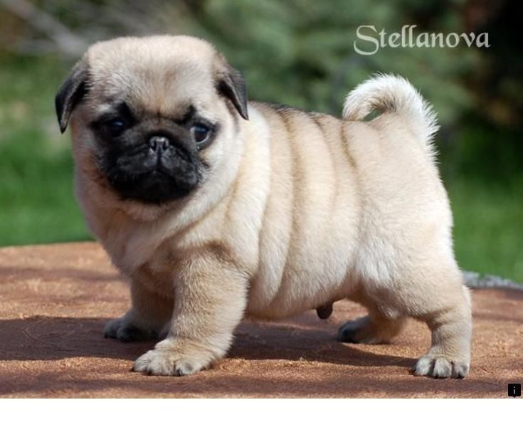 >>Discover more about pug puppies for adoption. Simply click here to learn more~...