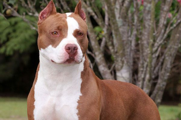 Pitbull Dogs White And Brown Color
