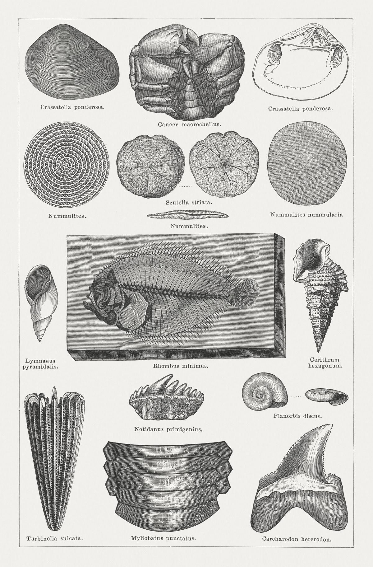 Cenozoic era fossil Meant to be, Fossils, Example