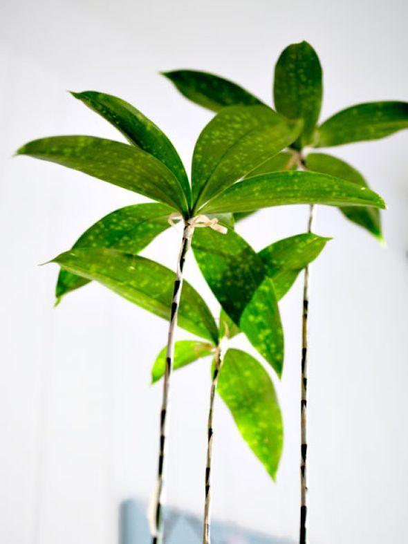 Schlangenlilie ist eine gute Alternative zu Bambus für die eigenen - bambus im wohnzimmer