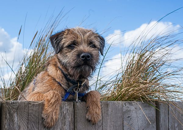 Get To Know The Border Terrier A Breed That S Borderline Perfect