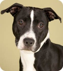 Black And White Pitbull Mix Google Search Black And White Pitbull American Pitbull Terrier Pitbulls