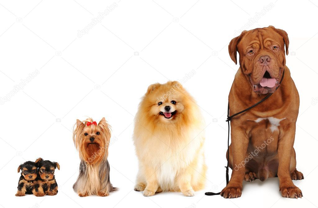 Group of dogs different sizes isolated Stock Photo ,