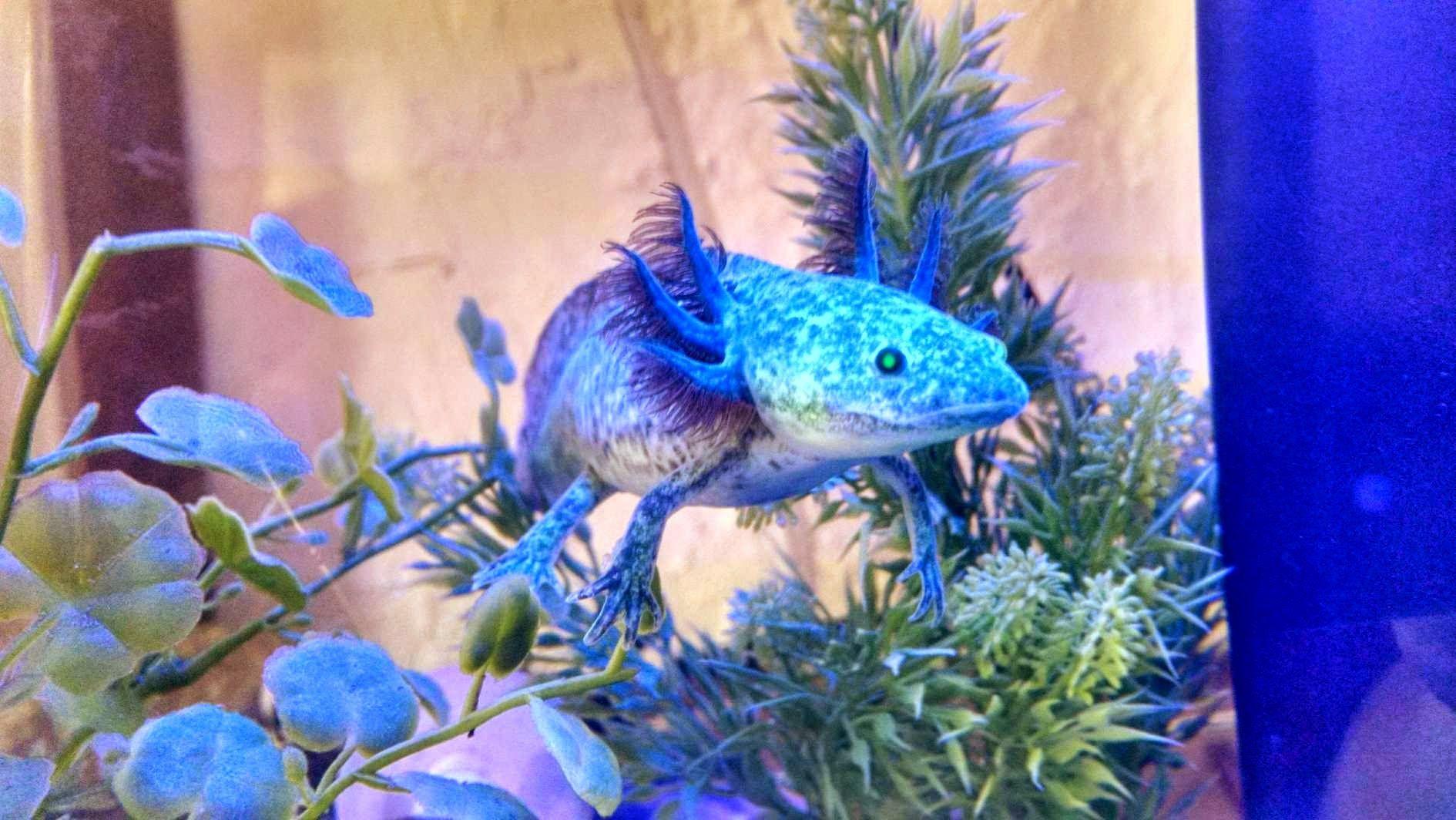 Gfp Purple Axolotl Under Blue Led