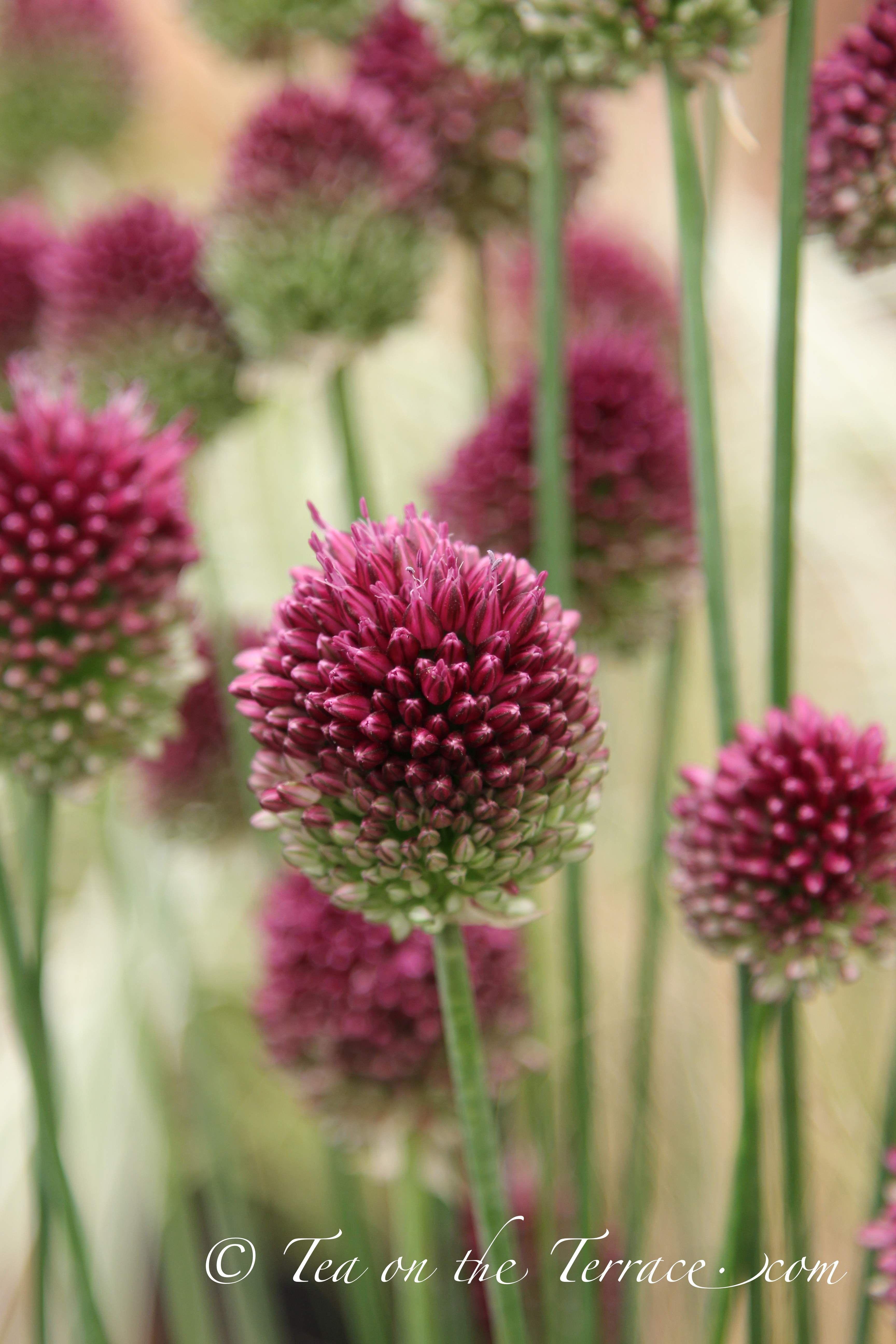 Sphaerocephalon Drumstick Alliums Rhs Tatton Flower Garden Show