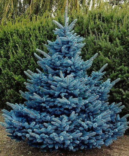 Blue Diamond Spruce Picea Pungens This New Variety Originated In Deurne The Netherlands 1990 From A Hybridization Between Female