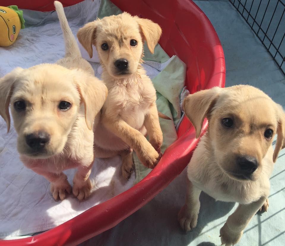 Golden labrador dog for adoption in murfreesboro tn adn