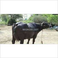 Indian Jersey Cow Supplier in Karnal,Murrah Buffalo Trader in 2020