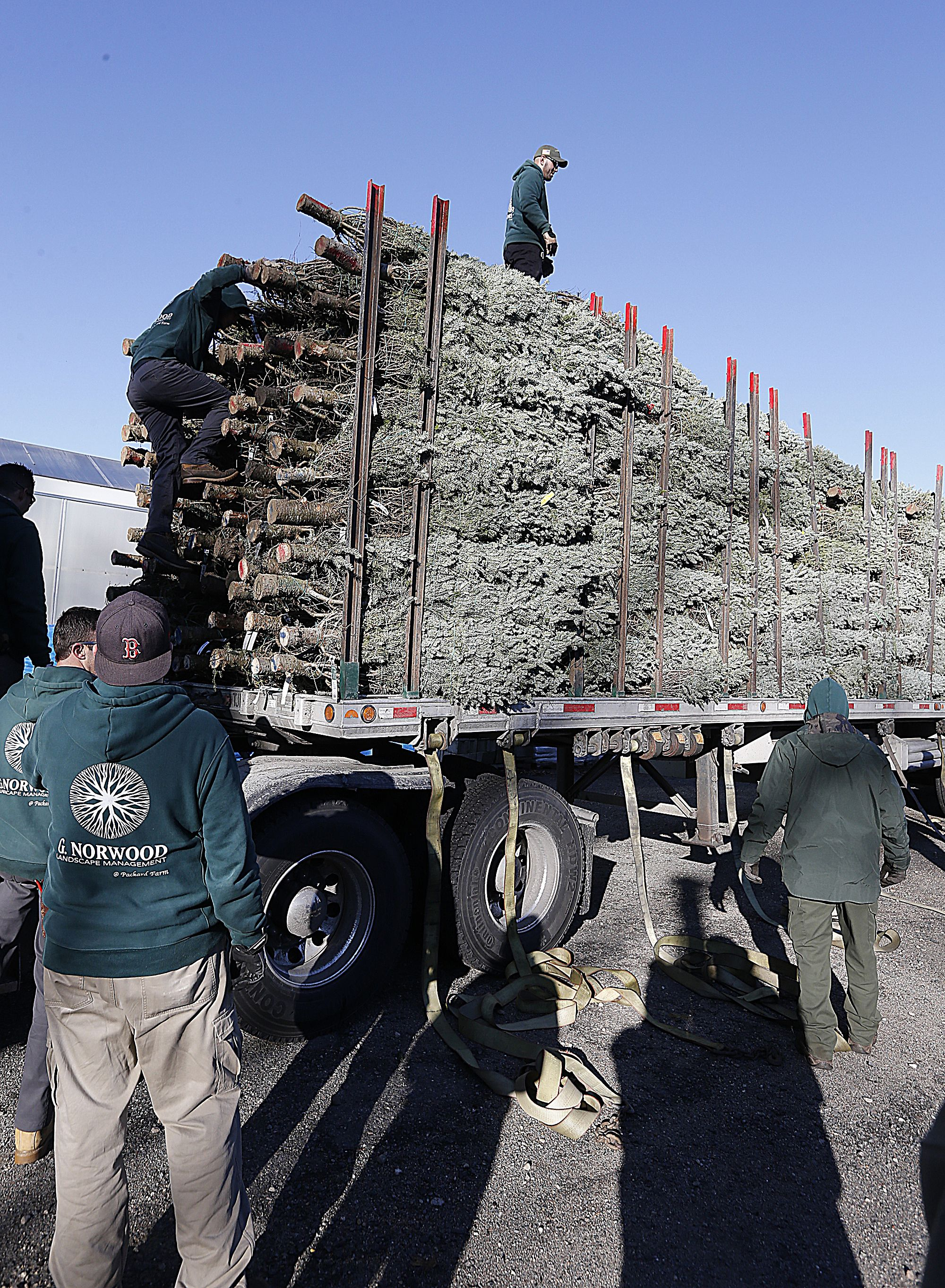 Employees At Packard Farm In Brockton Unload Christmas Trees They Bought From A Tree Farm In Coaticook Quebec Canada On Thursday Novem Tree Farms Canada Farm