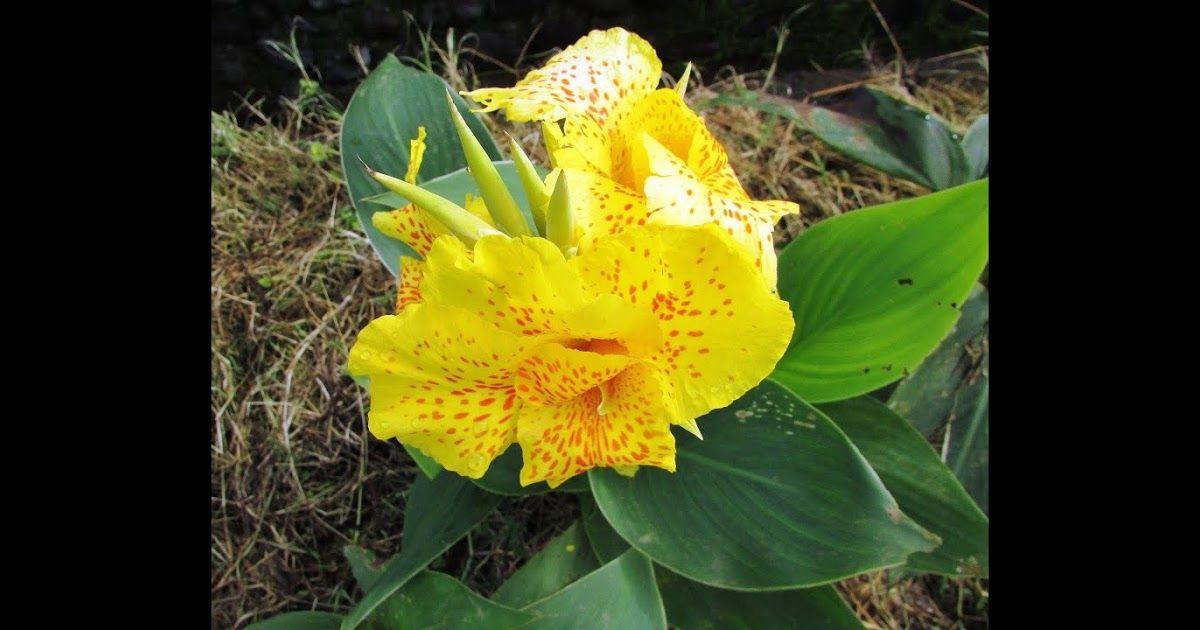 Kebun Bunga Amarilis Patuk Gunungkidul