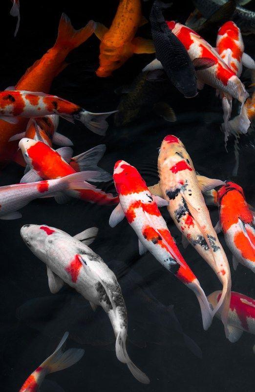 Himeji Day Trip From Kyoto Koi Art Japanese Koi Koi Fish