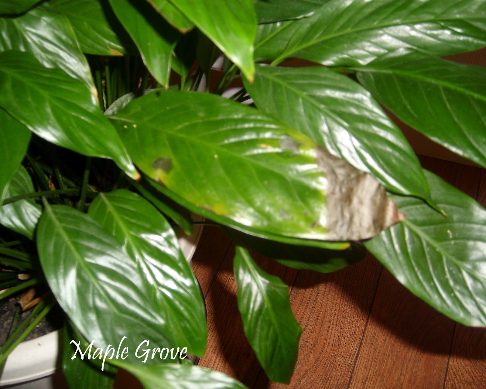 Damaged leaf on the peace lily plant deterioration like this can be damaged leaf on the peace lily plant deterioration like this can be izmirmasajfo Choice Image