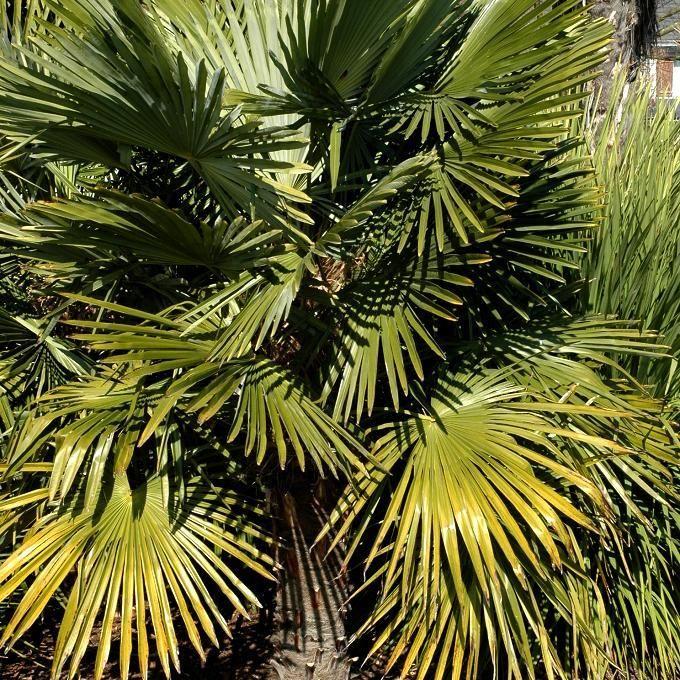 Chamaerops humilis palmier nain plantes fleurs for Entretien rosier nain interieur